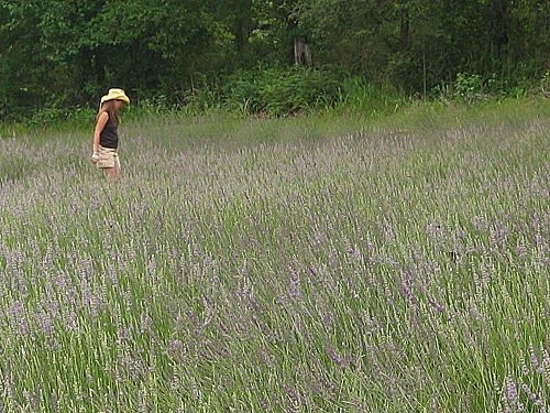 Clear Creek Lavender Lavender Farm And Products